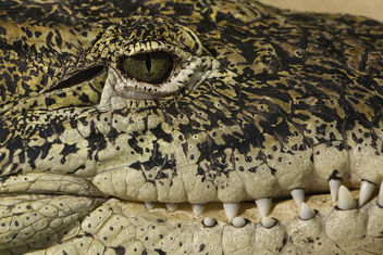 Alligator eye and teeth detail - Free image #299667