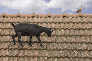 Goat on a roof - image #299707 gratis