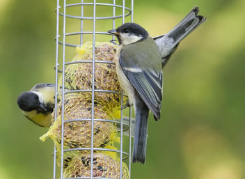Hungry Birds. Great Tit - Kostenloses image #299807