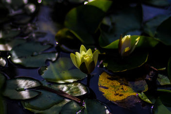 late afternoon lily - Free image #299877