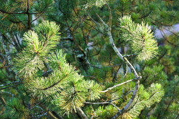 Pine branch - Kostenloses image #300687