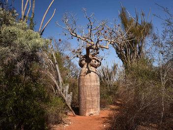 Baobab, Spiny Forest, Madagascar - Free image #301127