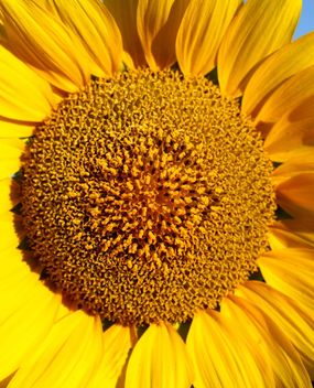 Sun flower closeup - Free image #301397