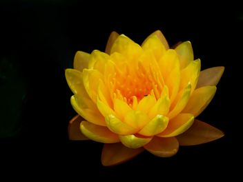 Yellow Water lily - image #301417 gratis