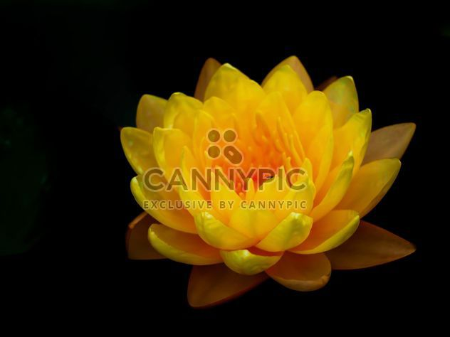 Yellow Water lily - Free image #301417