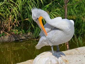 American pelican rests - Free image #301607