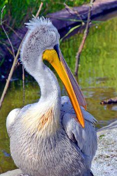 American pelican portrait - image #301637 gratis