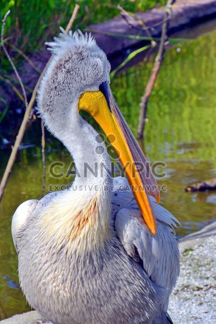 Retrato de pelicano americano - Free image #301637