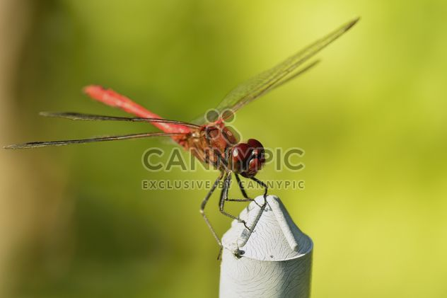 Dragonfly with beautifull wings - Free image #301647