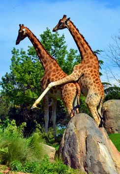 giraffes mature - Free image #304527