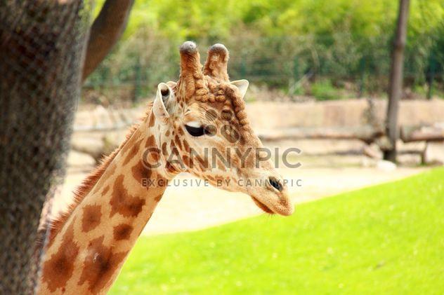Une girafe dans un parc - image gratuit #304537