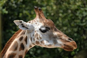 Giraffe portrait - image gratuit #304547