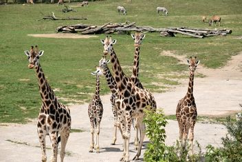Giraffes in park - Free image #304557