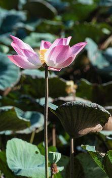 Pink lotus flower - Free image #304577