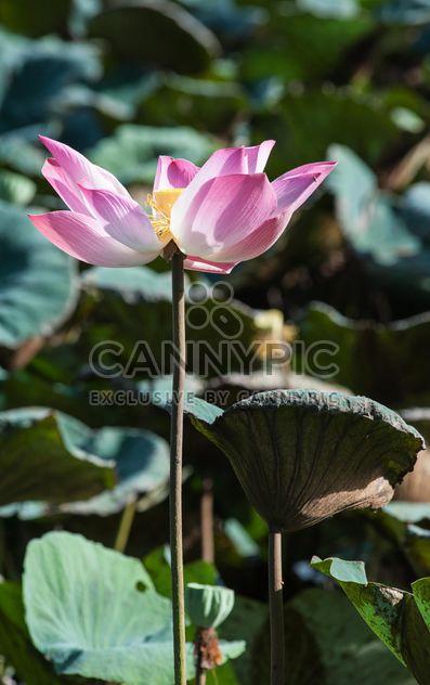 Pink lotus flower - image #304577 gratis