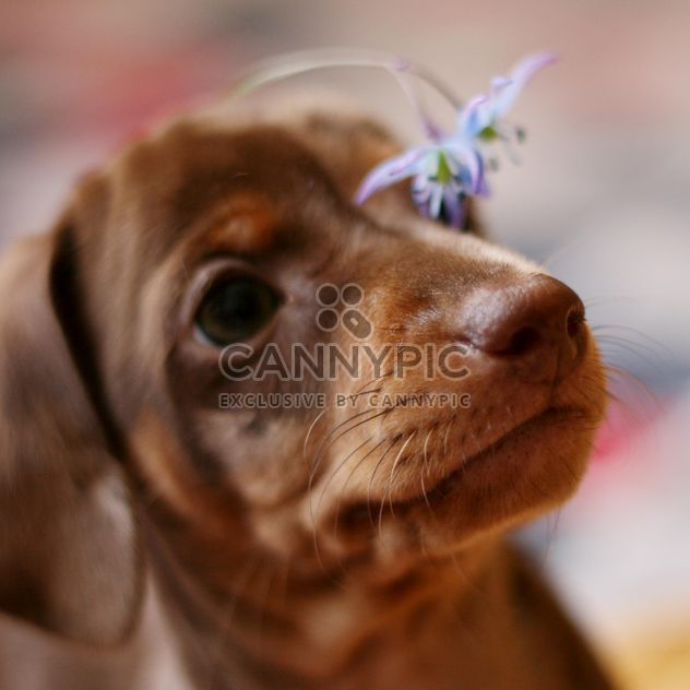 little dachshund puppy - image #304587 gratis