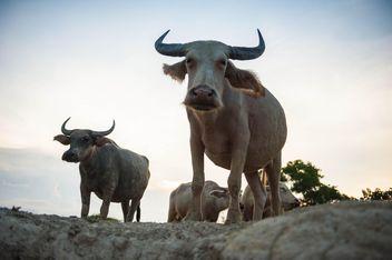 white buffaloes - image #304747 gratis