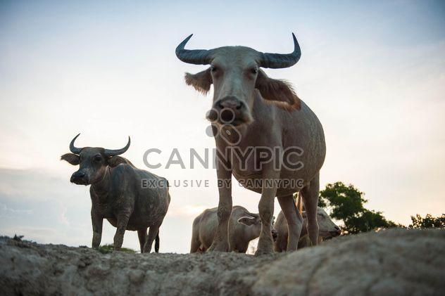white buffaloes - Free image #304747