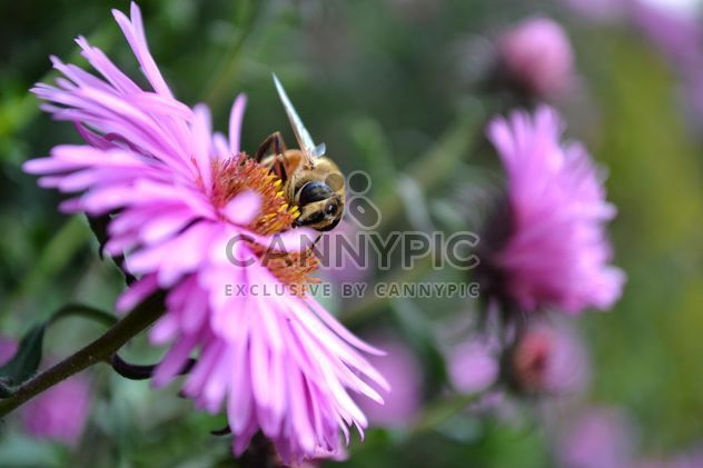 Bee on pink flower - Free image #304777
