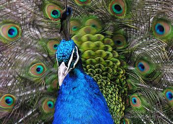 Peacock Flamenco - image #305947 gratis