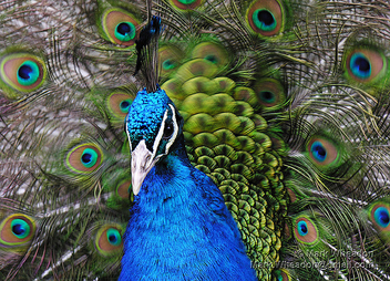 Peacock Flamenco - image gratuit #305947
