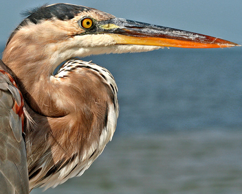 Great Blue Heron (Ardea herodia) - бесплатный image #306027