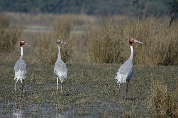 Sarus Cranes - Free image #306057