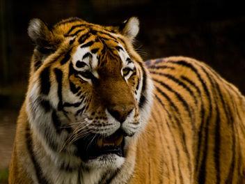 Tiger - Free image #306077