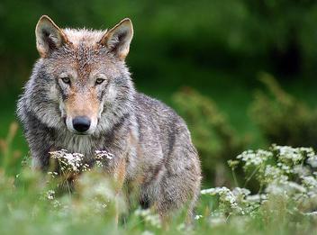 Wolf 2 - image gratuit #306097