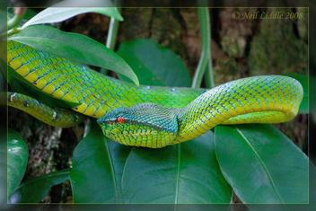 Waglers Pit Viper - Kostenloses image #306167