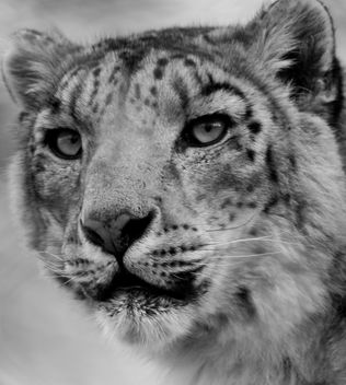 Snow Leopard - Free image #306177