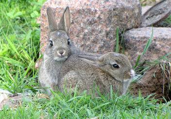 Baby rabbits - image gratuit #306257