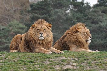 lions - image gratuit #306357
