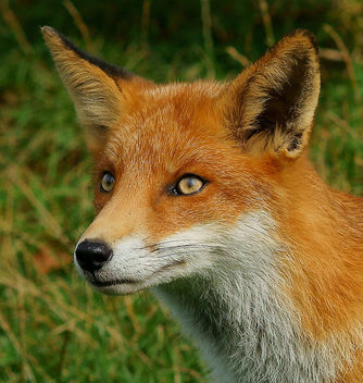 Young fox - image #306397 gratis