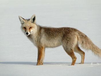 Fox - Kostenloses image #306437