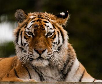 Tiger - Free image #306457