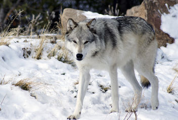 Walking Wolf - Free image #306477