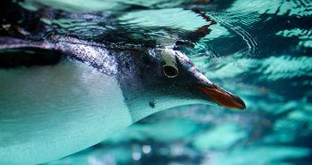 Gentoo penguin - image #306487 gratis