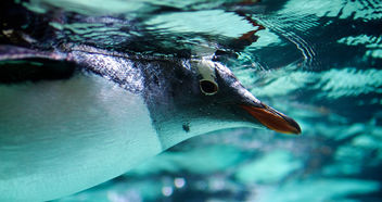Gentoo penguin - image gratuit #306487