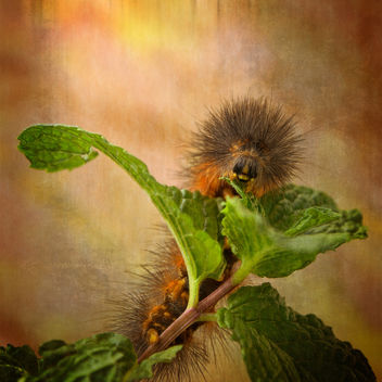 Salt Marsh Caterpillar - image gratuit #306617