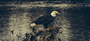 Bald Eagle - image #306657 gratis