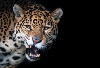Jaguar - Kostenloses image #306677