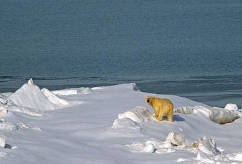 Polar Bear (Ursus maritimus) - Free image #306697