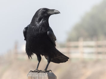 Visit from a Raven - Corvus corax - Free image #306707