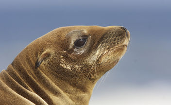 California sea lion (Zalophus californianus) - Free image #306767
