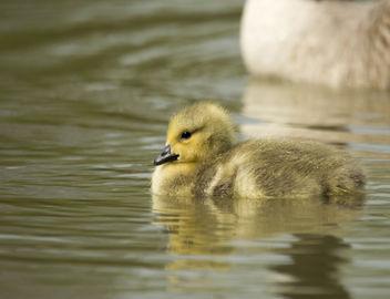 Canada Gosling - Free image #306797