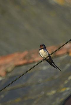 Swallow - image gratuit #306817