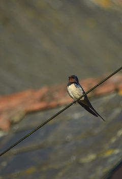Swallow - Free image #306817