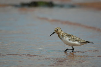 Little Stint - image gratuit #306827