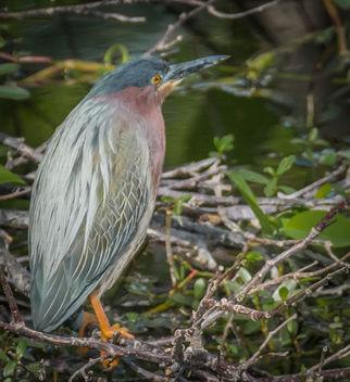 Green Heron. - Free image #306977